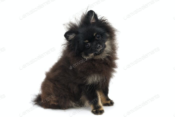 Black and shaggy Pomeranian puppy