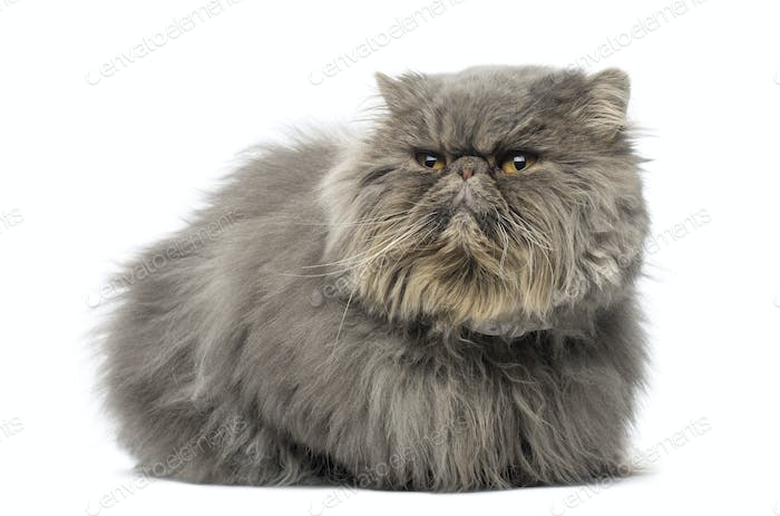 Front view of a grumpy Persian cat, lying, looking away, isolated on white