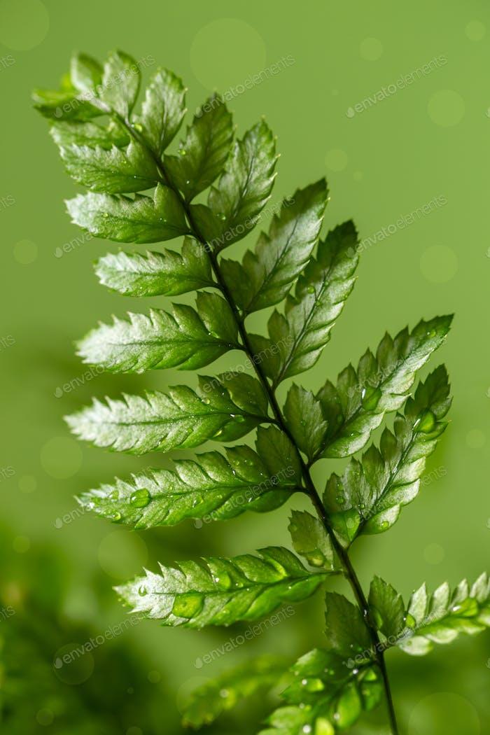 Farn Zimmerpflanze Makro