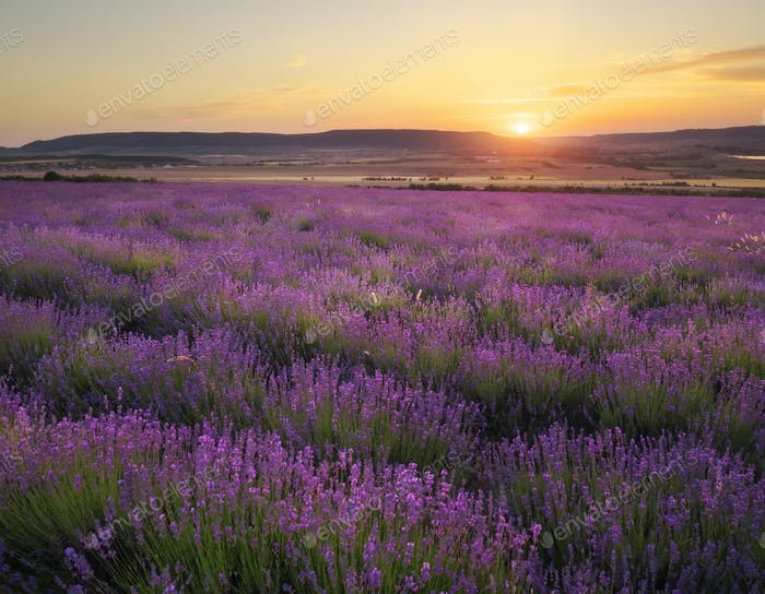 Meadow of lavender at sunset