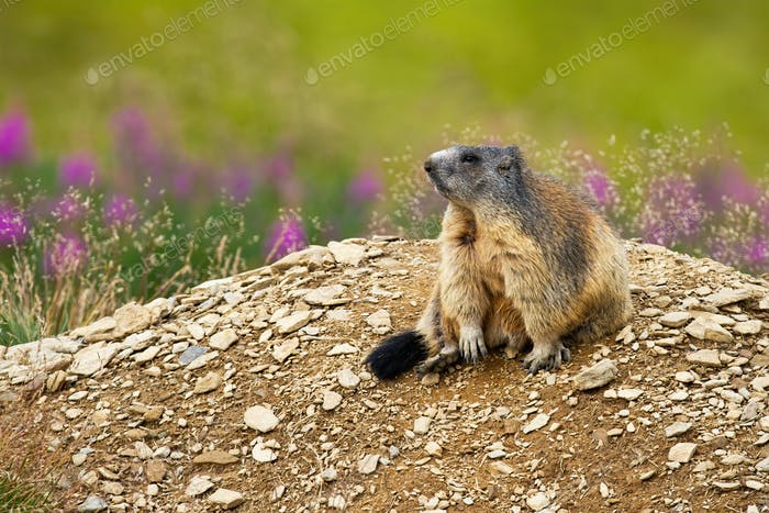Cute alpine marmot sitting on a heap of stones near den and looking aside