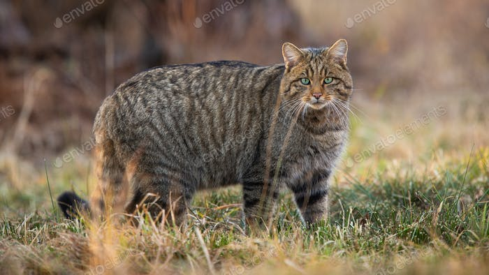 European wildcat standing on dry field in spring nature