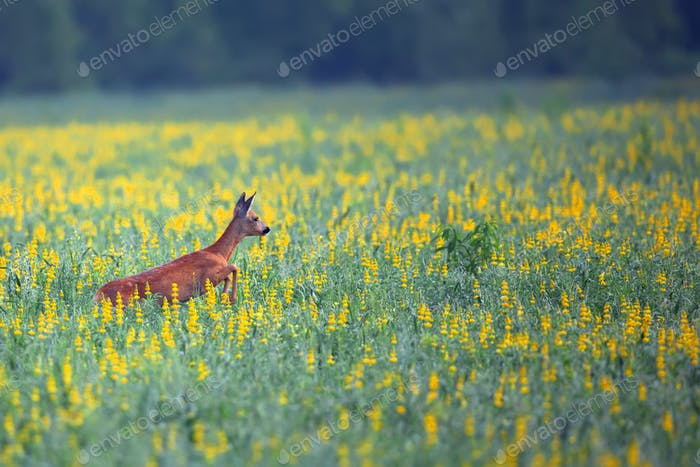 Roe-deer in the flowers