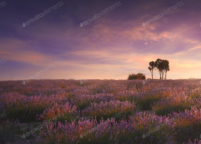 Lavender fields and trees at sunset. Santa Luce, Tuscany, Pisa, Italy
