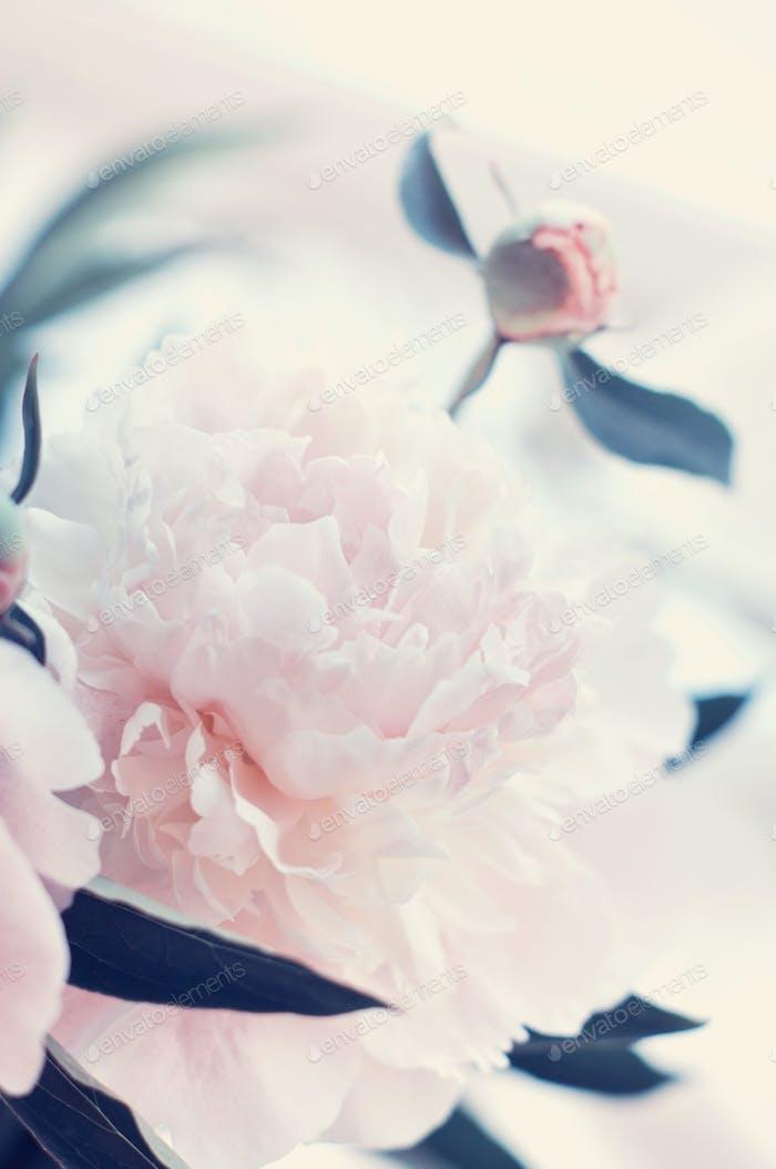 Schöne weiße Pfingstrose Blumen