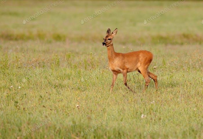 Roe deer grazing on the meadow