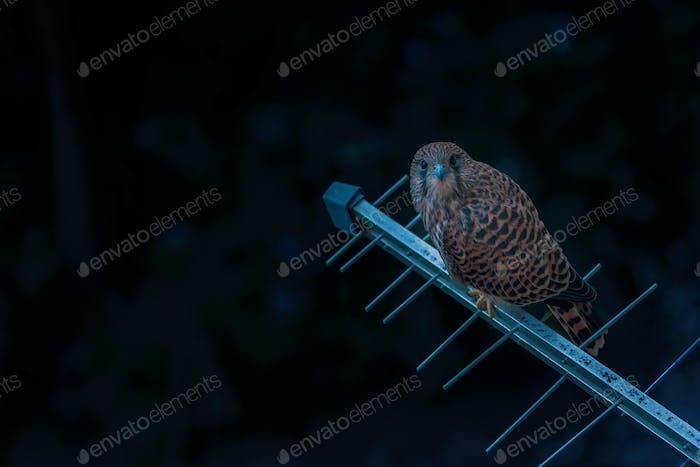 Common kestrel bird on TV aerial in urban surrounding at night