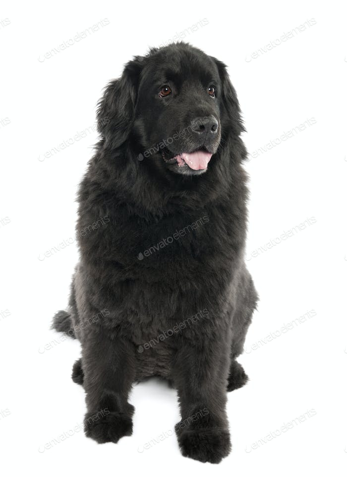 Newfoundland (7 years old)