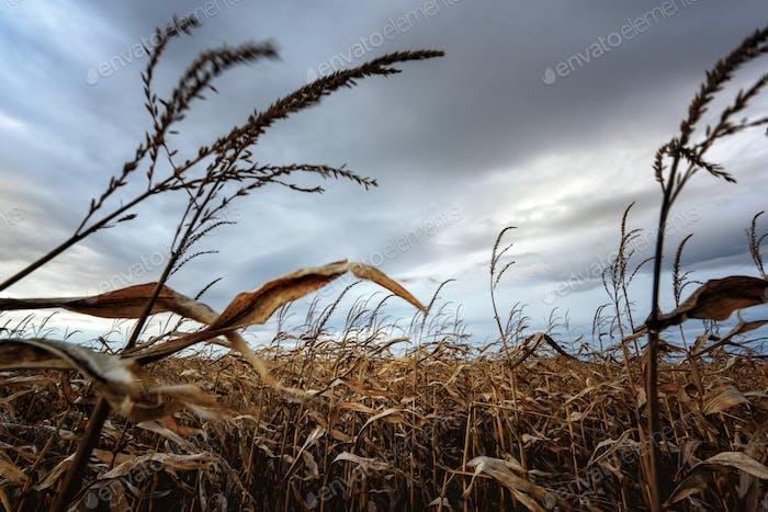 Frightening corn field in gloomy weather
