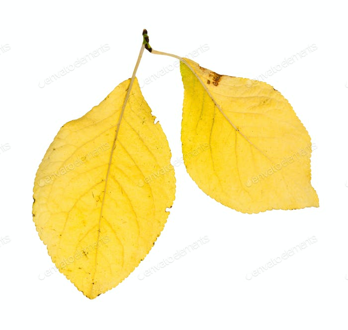 two yellow leaves of plum tree isolated