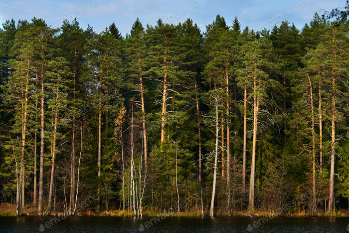 pine forest on the lake