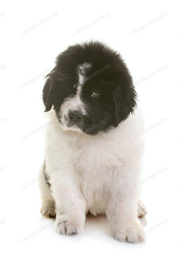 puppy newfoundland dog