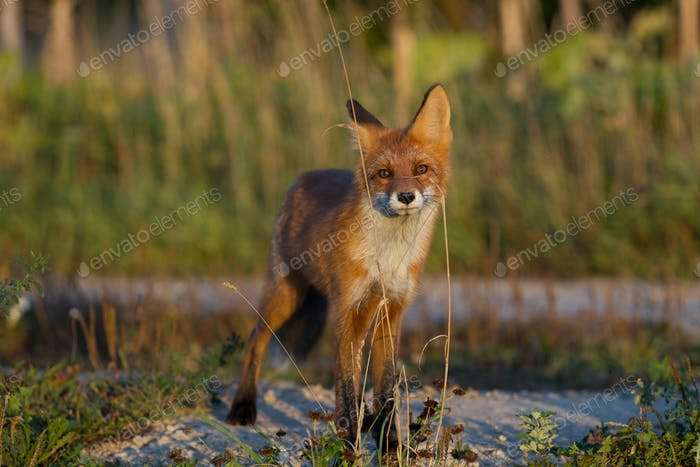 Cute young fox cub on the grass background. One. Evening light. Wild nature. Animals.