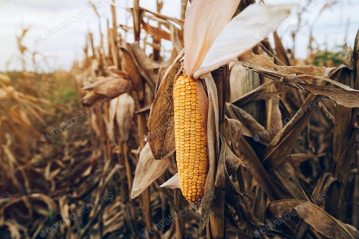 Harvest ready ripe corn maize cob in field