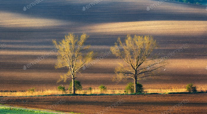 Einsame Bäume auf mährischen Feldern bei farbenfrohen Sonnenuntergang im Frühling