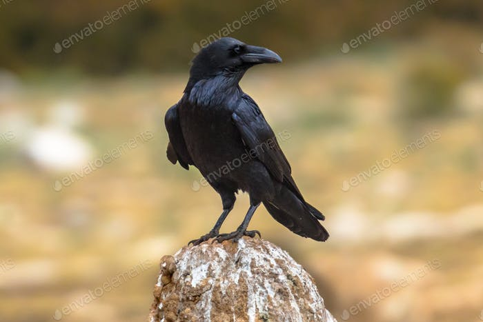 Common raven sitting