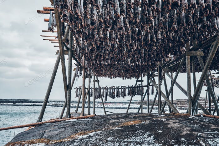 Drying flakes for stockfish cod fish in winter. Lofoten islands