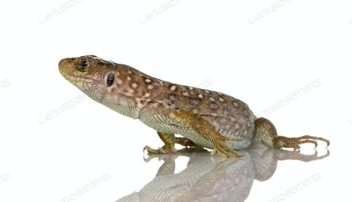 Ocellated lizard - Timon lepidus
