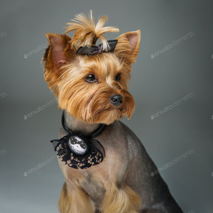 Beautiful yorkshire terrier with necklace