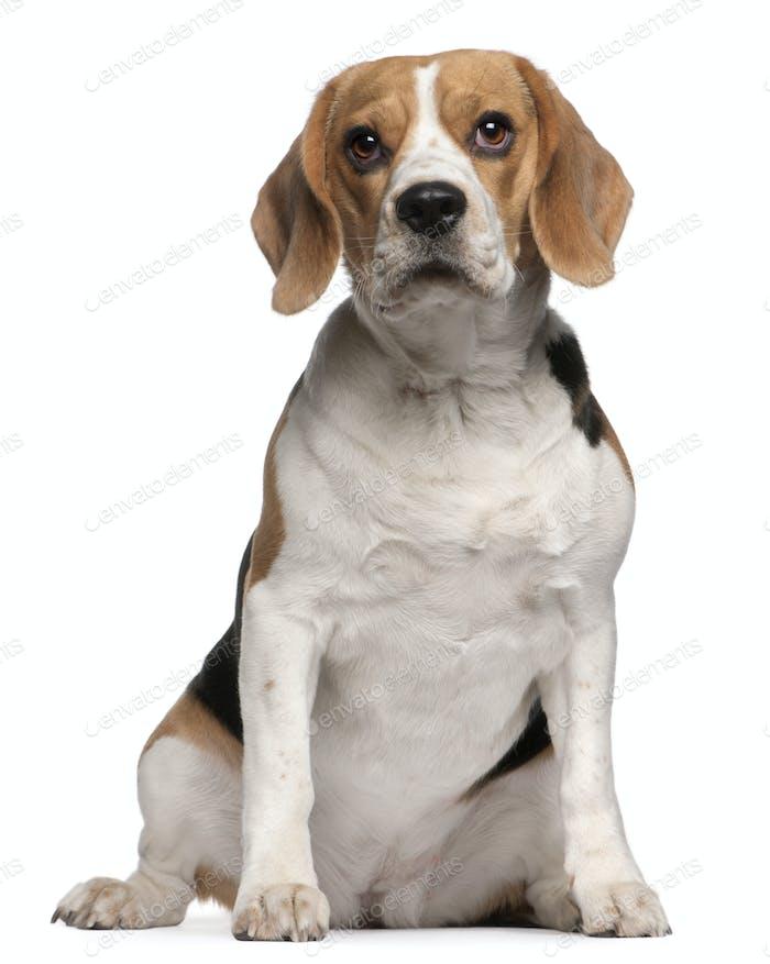 Beagle (12 months old)