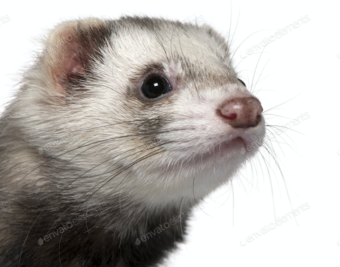 Close-up of Ferret, 1 year old, in front of white background
