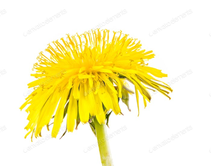 Isolierte gelbe Löwenzahn Blüte