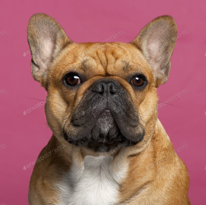 Close-up of French Bulldog, 1 year old, in front of pink background