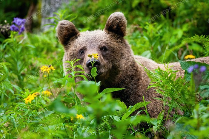Curious brown bear staring in the summer greenery