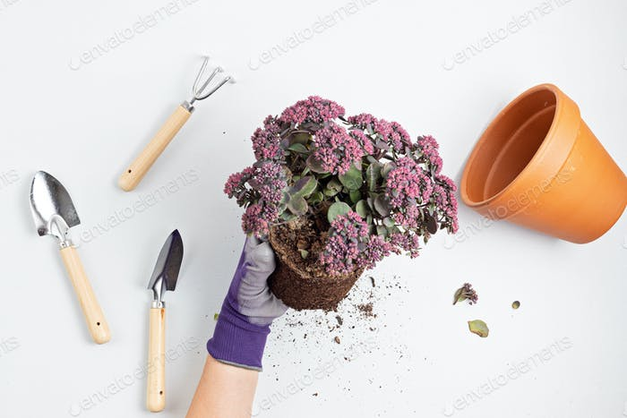 Home gardening concept. Planting of succulent plant