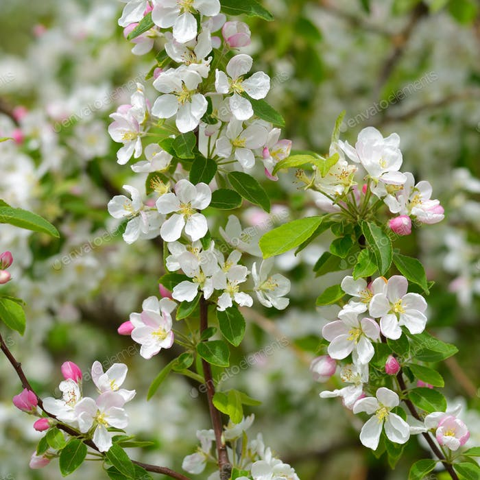 Spring apple blossom