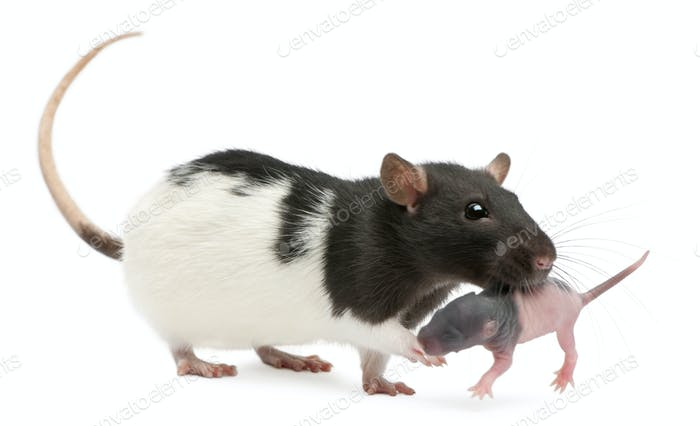 Mother rat carrying her baby in her mouth, 5 days old, in front of white background