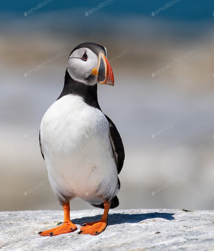 Atlantic Puffin Portrait