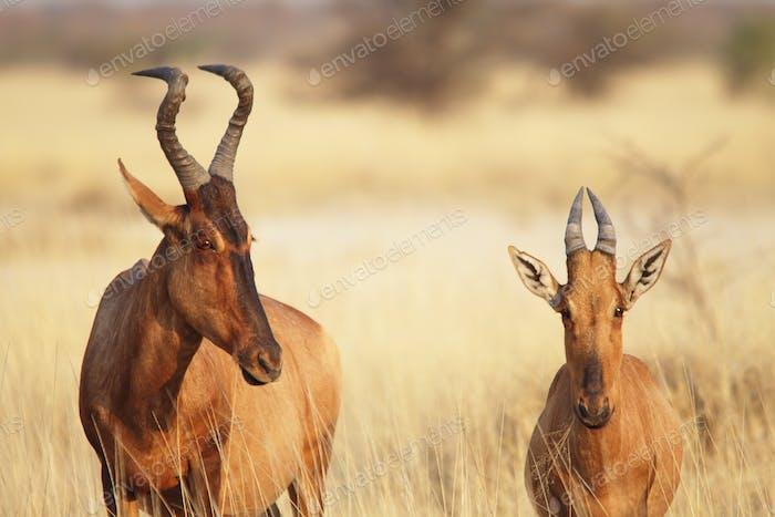 A couple hartebeest (Alcelaphus buselaphus) in Etosha, Namibia