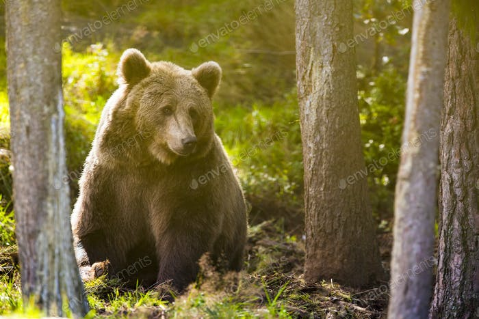 Large adult brown bear in the forest