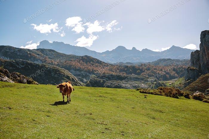 Kuh auf dem Rasen in den Bergen