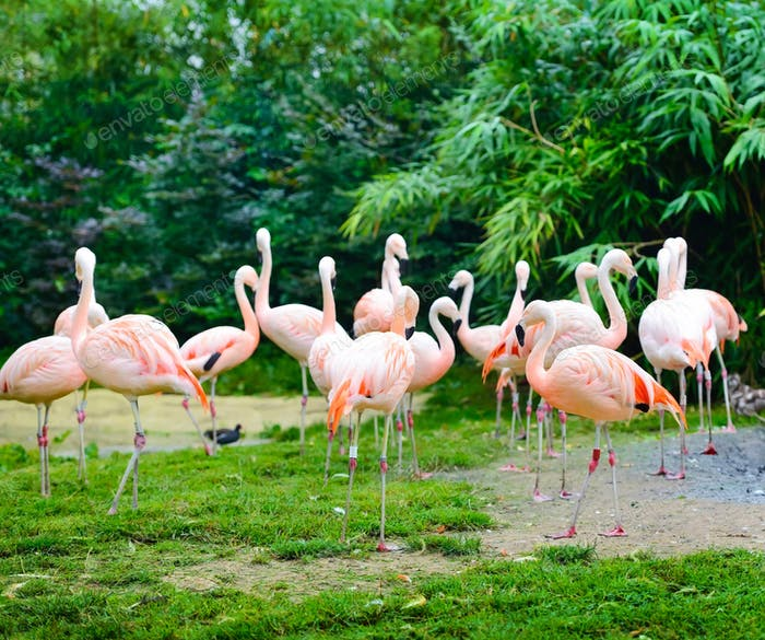 Pink flamingos (Phoenicopterus roseus) against green background