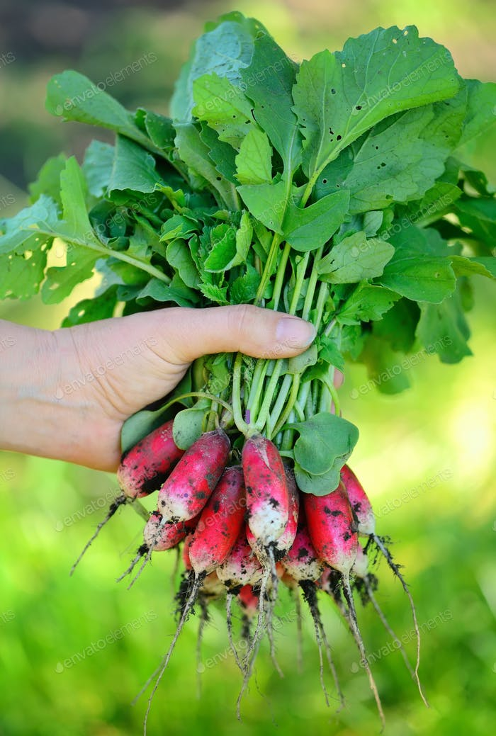 Fresh organic radishes with tops and green leaves in woman's han