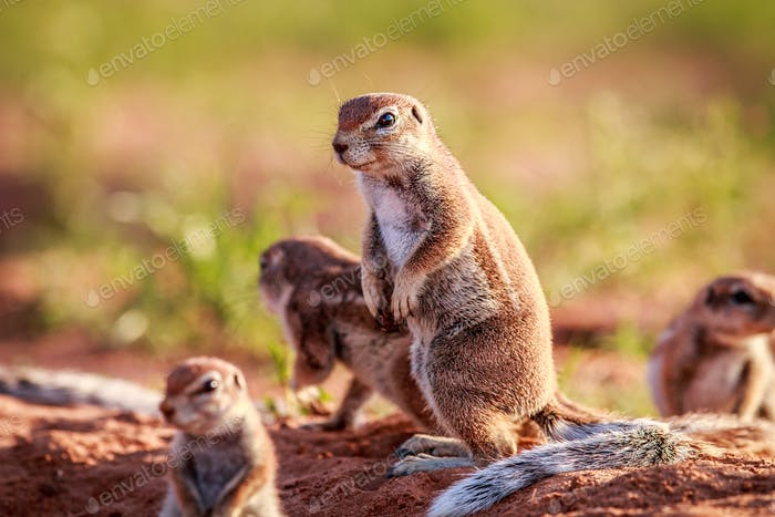 Ground squirrels standing in the sand.