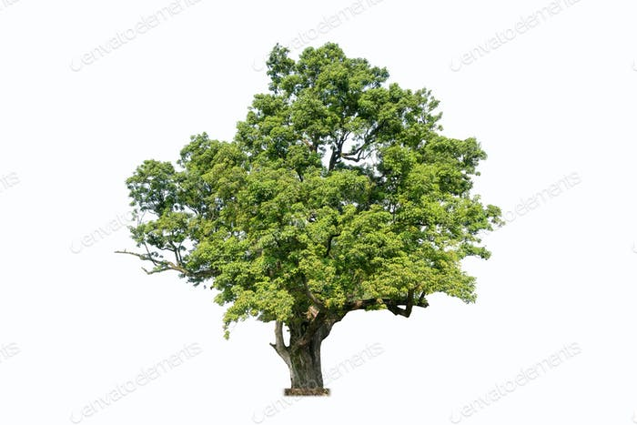 old tree isolated