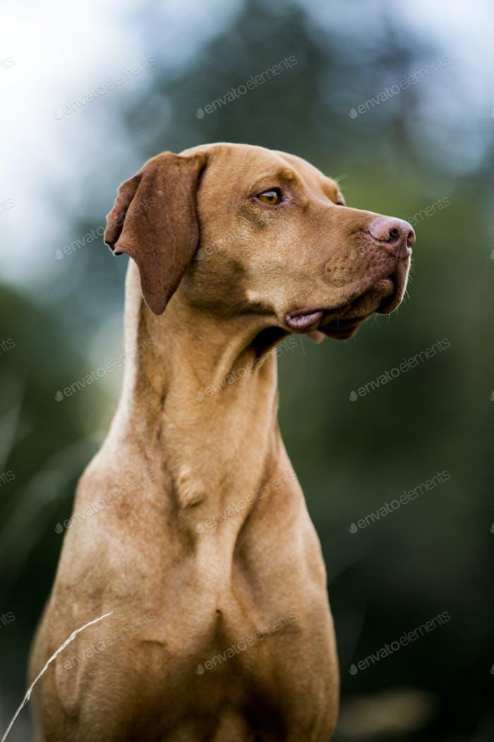 Портрет собаки Визлы.