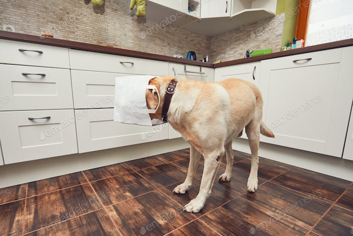 Naughty dog in home kitchen