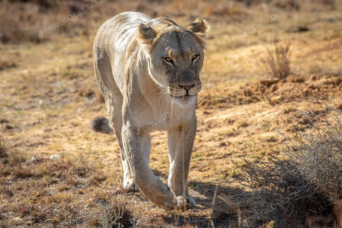 Lioness walking towards the camera.