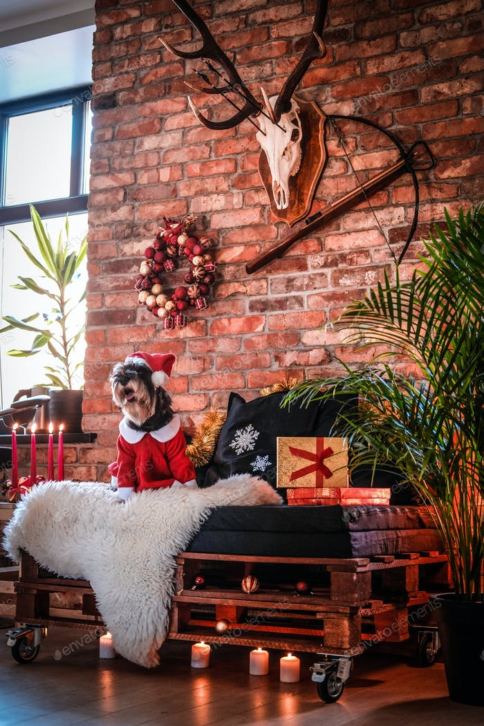 Cute Scottish terrier wearing Santa's costume in a decorated apartment at Christmas time
