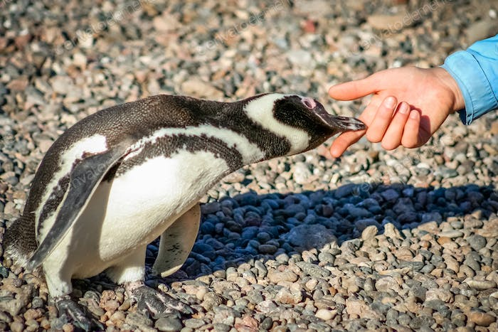 Curious Magellanic penguin