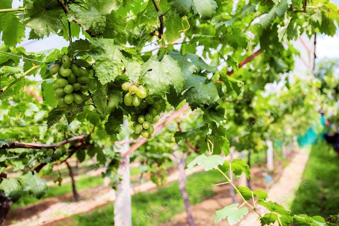 Green grapes in farm