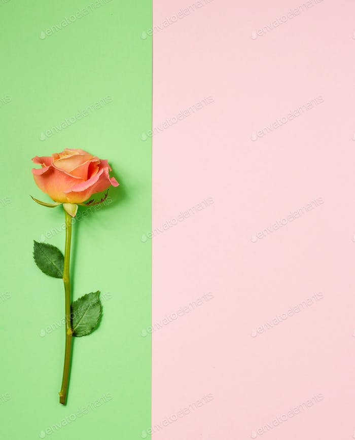 pink rose on colorful paper background