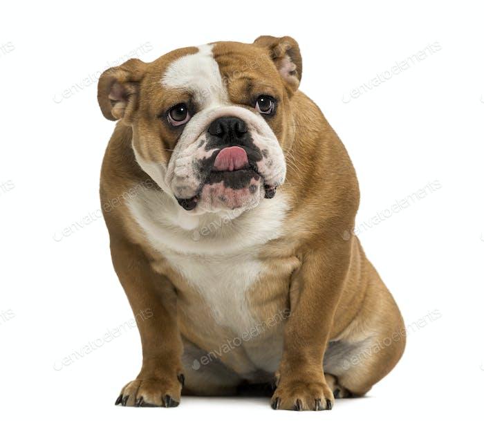 English Bulldog sitting, licking, 1 year old, isolated on white