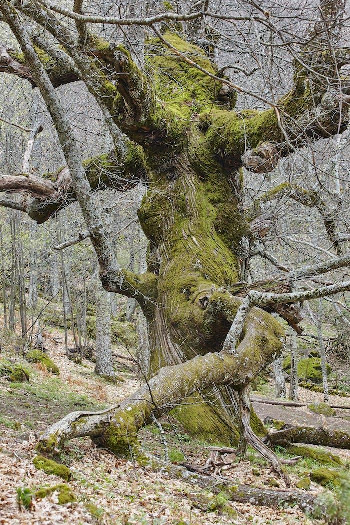 Jahrhunderte alte Kastanienbaum im Ambroz-Tal. Erstaunliche Natur. Spanien