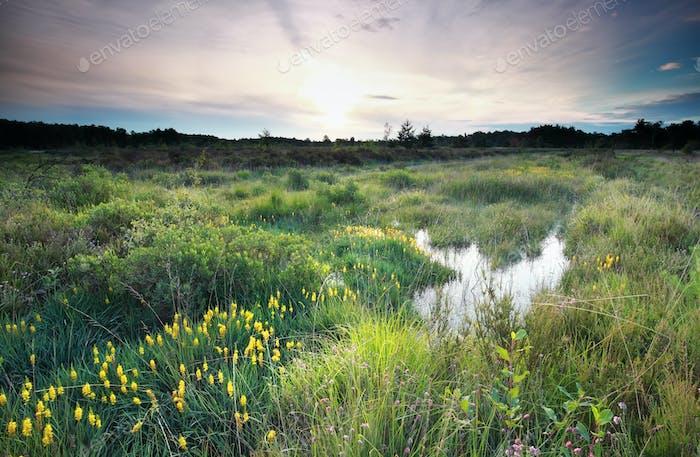 morning on swamp with flowering asphodel