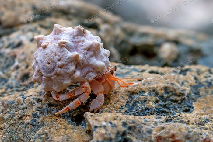 Hermit crab close-up